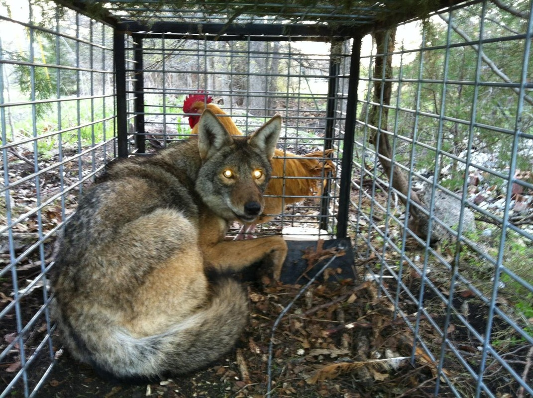 skunk trapping and removal,coyote trapping and removal,bat trapping and removal